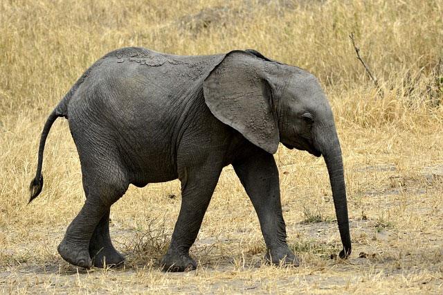baby php elephant