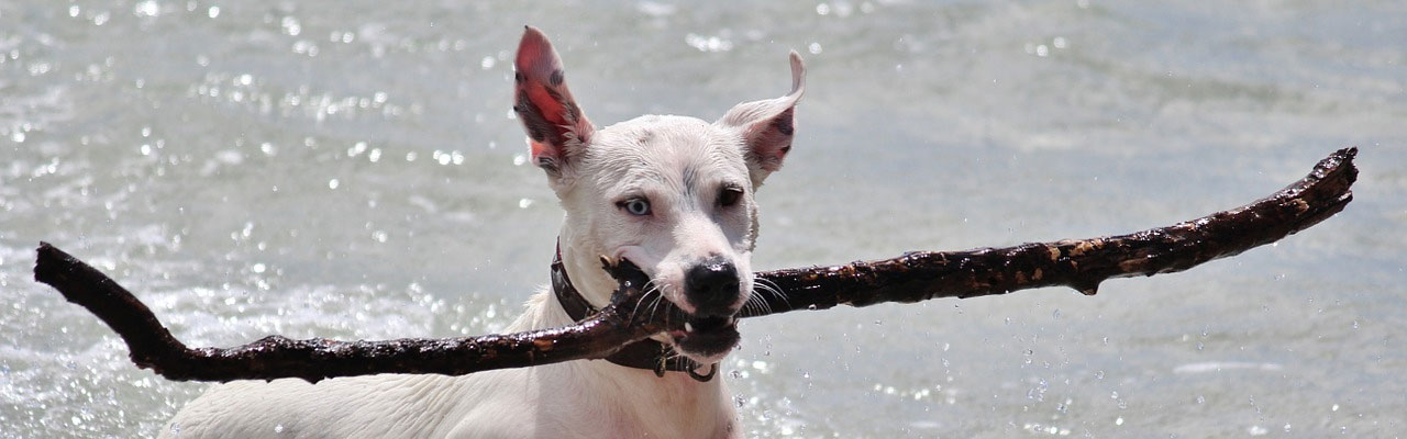 Dog with baton