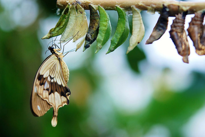 Butterfly freed from cocoon